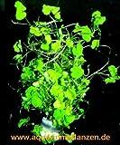 1 Bund Hydrocotyle sibthorpioides, Wassernabel