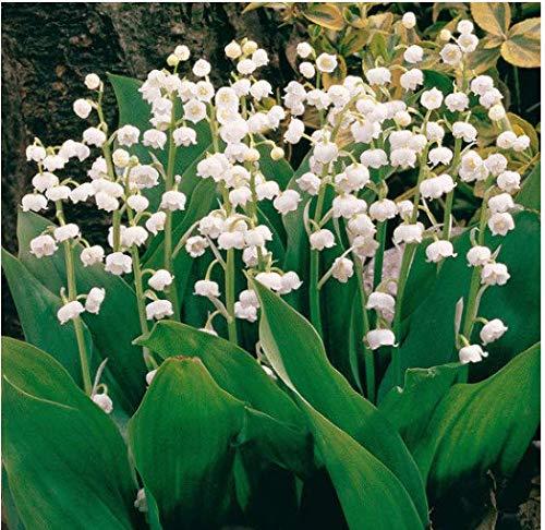 Tomasa Samenhaus- 40 Stück Maiglöckchen Samen, Duftend Raritäten Maiglöckchen Blumenzwiebeln mehrjährig winterhart Glockenblume für Barkon, Garten