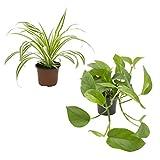Dominik Blumen und Pflanzen, 891802 Rankpflanzen-Set, grünlilie und Efeutute
