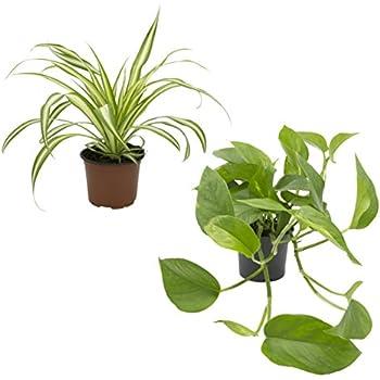 Efeutute scindapsus epipremnum 12cm topf zimmerpflanze garten - Rankpflanzen zimmer ...