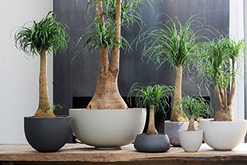 secretgiardino.com pianta da verde ornamentale pianta mangiafumo esemplare ramificata