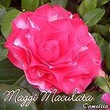 Kamelie 'Maggi Maculata' - Camellia - 3-jährige Pflanze