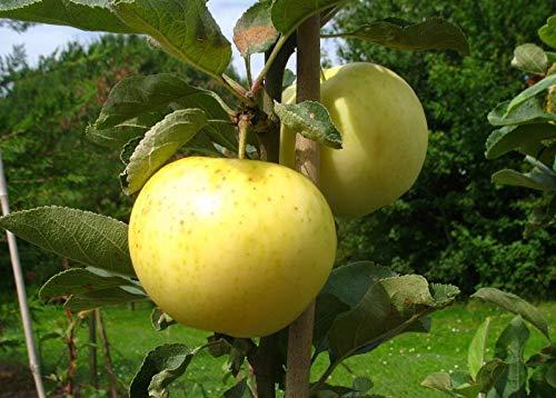 Apfel 60 -