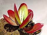 #3: K S Trading Live Succulent Plant Kalanchoe Luciae Flapjack