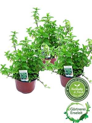 3er Set Marokkanische Minze,Mentha Spicata v. Crispa,frische Minze von Weselerkräuterparadies - Du und dein Garten