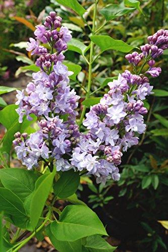 Flieder violette Blüte Edelflieder Michel Buchner Syringa vulgaris Michel Buchner Containerware 40-60 cm