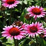 Sonnenhut 'Fatal Attraction' ® - Echinacea purpurea 'Fatal Attraction' ®