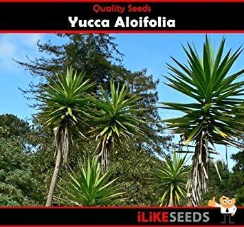astonish pacchetto semi: yuccaoifolia 10 semi semi giardino minimo un paesaggistica gem facile da coltivare