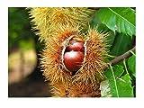 Edelkastanie Castanea sativa Esskastanie Maronen Maroni Pflanze 25-30cm Kastanie