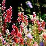 Fash Lady 200 Stück Rittersporn Samen gemischt bunte Rakete Rittersporn Consolida Ajacis Delphinium Blumen Pflanze für Hausgarten