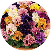JPD Plants Pansy Can Can Autumn (24 Jumbo)
