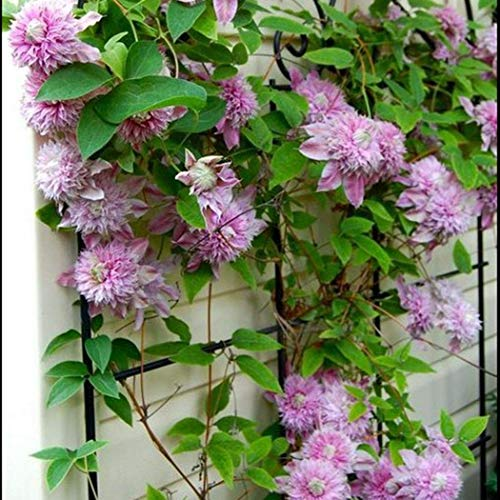 OBI Clematis 'The