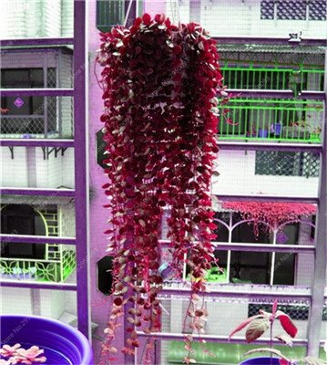 100 pcs / sac exotiques Graines rares Couleur extérieure hybride Escalade Blooming Bonsai pot Plantons pour Lvy Décor de jardin 8