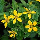 Blumixx Stauden Chrysogonum virginianum - Goldkörbchen gelb
