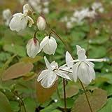 lichtnelke - Elfenblume (Epimedium x youngianum) Niveum