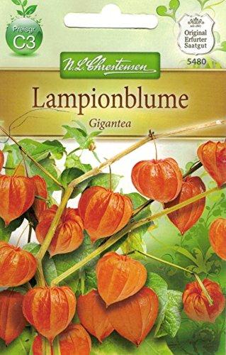 Chrestensen Lampionblume 'Gigantea'