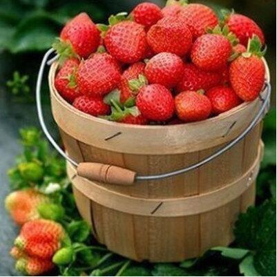 200pcs / lot graines de fraises fraises géant graines de fruits bio légumes pot bonsaï non-OGM pour les semences de plantes de jardin à la maison 5