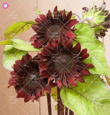 Shopmeeko 40 stücke Seltene Farbe Sonnenblume anlage Bonsai Blume pflanze Natürliches Wachstum Für Hausgarten Pflanzen: 5