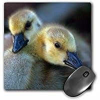 Danita Delimont - Geese - Canada Goslings. - MousePad (mp_205994_1)