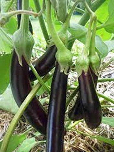 SEED EGGPLANT, LONG PURPLE, HEIRLOOM, ORGANIC, NON OGM, 100 graines, semences horticoles