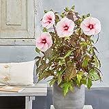 lichtnelke - Riesen-Hibiskus (Hibiscus moscheutos) Carousel® Pink Candy