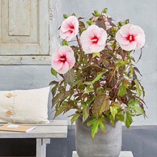 lichtnelke – Riesen-Hibiskus (Hibiscus moscheutos) Carousel® Pink Candy