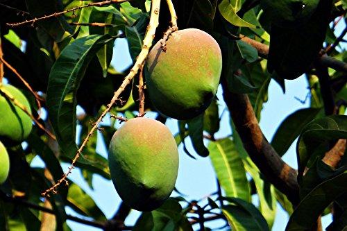 mangobaum-mangifera-indica-mango-pflanze-20cm-susse-essbare-fruchte-sehr-selten