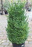 Buxus sempervirens - Buchsbaum als Gartenpflanze - GROSSER GEREIFTER BUSCH - ca. 100cm hoch
