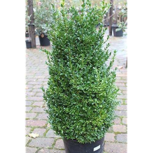Buxus Sempervirens   Box Garden Plant   LARGE MATURE BUSH  Approx 100cms  Tall