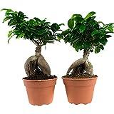 Choice of Green -2 bonsai ficus ginseng-pianta da camera in vaso coltivatore ?17 cm-altezza ? 40 cm