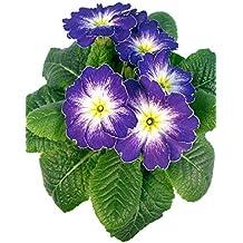 vielseitig einsetzbar Kissenprimel rot Gro/ßartige Fr/ühlingspflanzen