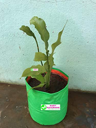 Easy Gardening Brahma Kamal 'Queen Of The Night' Plant (Growbag 12 * 12)