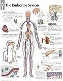 Endocrine System Paper Poster
