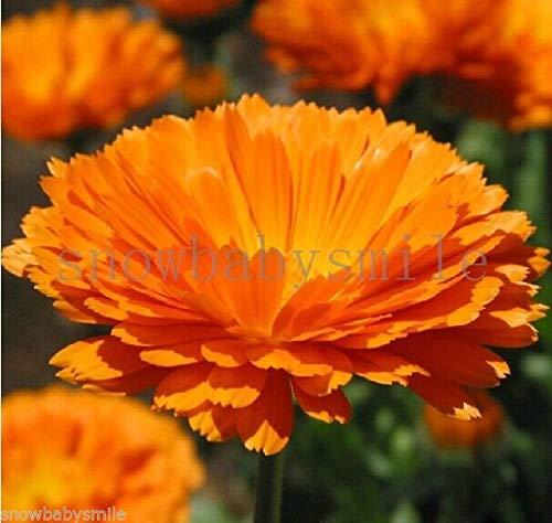 Generic Seeds: 1 Gramm 1. Samen Pot Mari en Orangen