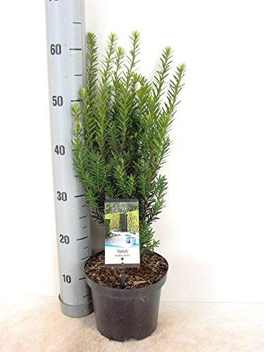 Heckenpflanze - Eibe Taxus media Hilli - 50-60cm im 3 Ltr. Topf
