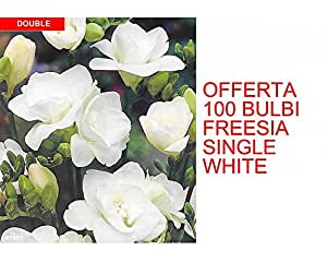 OFFERTA 100 BULBI PRIMAVERILI FREESIA SINGLE WHITE BULBS