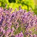 lichtnelke - Lavendel (Lavandula angustifolia PINK HIDCOTE) rosa von Lichtnelke Pflanzenversand bei Du und dein Garten