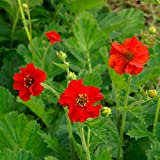 Geum - Mrs Bradshaw - 250 Seeds