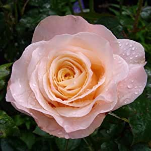 ROSE FABULOUS AT 60-60th Birthday,Gifts For Him Or Her,Sister,Brother,60th Birthday Gifts