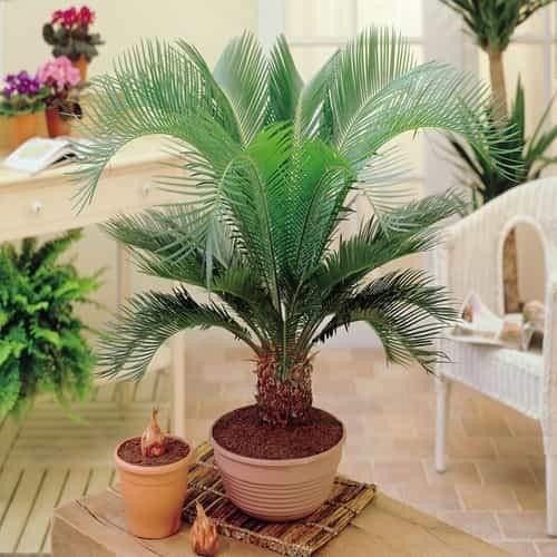 TOMASA Jardin-Palm chamaedorea jardín exótico hollyhock hardy perenne palmera plantas de interior...