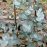TENGGO Egrow 30 Unids/Pack Eucalipto Semillas Silver Dollar Tree Eucalyptus Cinerea
