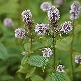 Blumixx Stauden Mentha species 'Erdbeere' – Erdbeerminze im 0,5 Liter Topf violettblau blühend