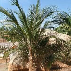 Tropicaflore - Parajubaea sunkha - Pot de 2 litres - 20/40 cm