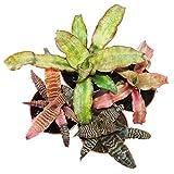 4er Set Erdbromelie - Cryptanthus - buntlaubige Pflanze - Ideal für Terrarien