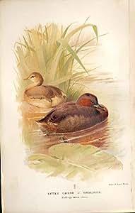 Petit Grèbe Ou Dabchick Par les Oiseaux 1855-97 de Thorburn