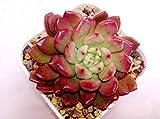 #8: K S Trading Live Succulent Plant Graptoveria Bashful