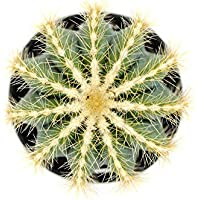 Portal Cool 3.5 & # 034; : Notocactus MagnãFico Globo Cactus