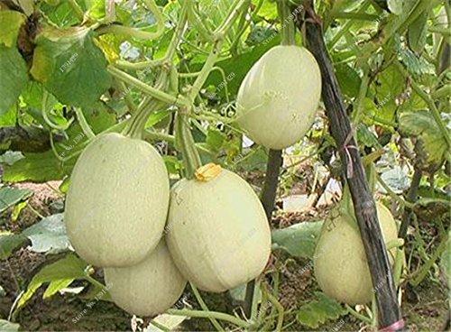 Graines de citrouille rares Cucurbita fil d'or de citrouille non-OGM légumes jardin Bonsai plantes ornementales semences Escalade 10 Pcs / sac 17