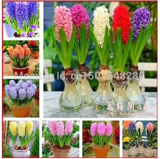 graines jacinthe, graines de jacinthe de parfum bon marché, mélange différentes variétés - 100 graines Hyacinthus Orientalis