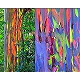 200 semillas del árbol de eucalipto del arco iris deglupta SEMILLAS DEL ARCO IRIS árbol de eucalipto para la plantación de ja